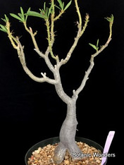 "Pachypodium succulentum, 8"" pot, Great specimen plant!"