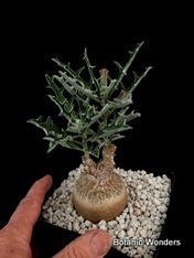 """Pterodiscus luridus, 6"""" pot Super Big Specimen!"""