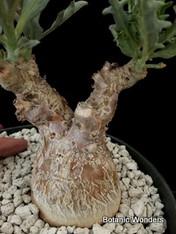 "Pterodiscus luridus, 6"" pot Super Big Specimen! Nice double branch!"