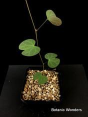 "Tylosema fassoglensis, 3.5"" pot, Rare caudiciform! Beautiful vine!"