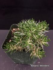 """Maihuenia poeppigii, 3.5"""" pot, Very rare Species!"""