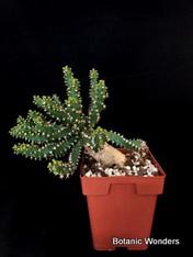 """Euphorbia squarrosa, 6"""" pot, Killer caudex!"""
