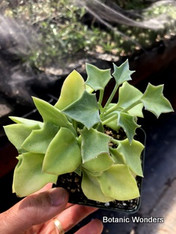 "Senecio tropaeolifolius - 3.5"" Pot! Geometric with Killer Caudex-like roots!"