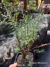 """Crassula sarcocaulis, 4"""" pot, Great for bonsai!"""
