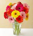 Gerbera Daisy Bouquet, 15 Stems