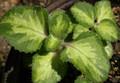 Spanish Thyme or Cuban Oregano Plant - Variegated