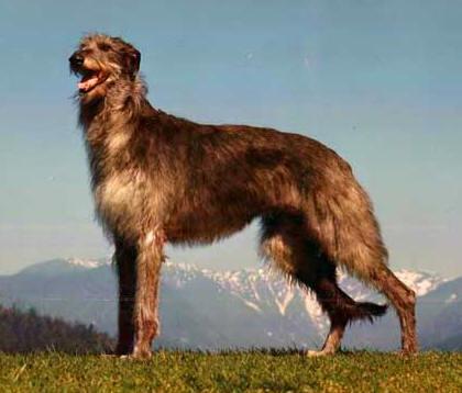 deerhound-fernhill-s-kendra.jpg