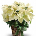 "White Star 8"" Poinsettia Plant with Bow"
