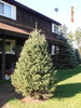 White Spruce A+2, 50 Trees