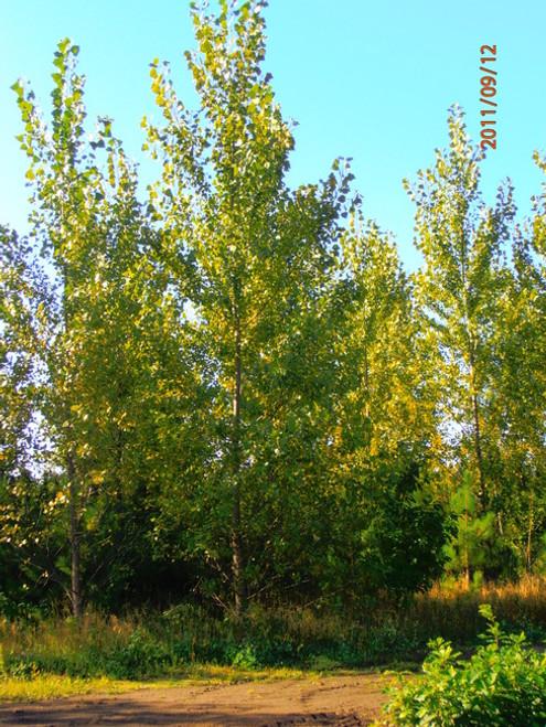 Hybrid Poplar - DN 34 100 Sticks