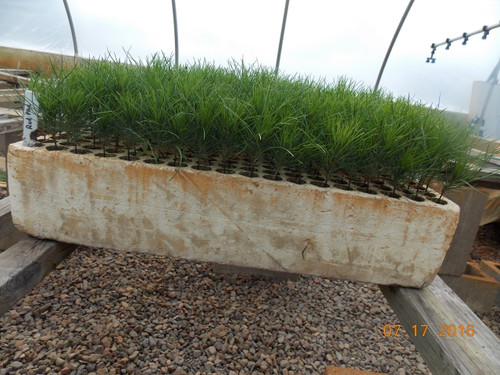 Red (Norway) Pine Containerized Seedlings