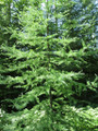 Tamarack A+2, 25 Trees
