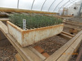 Balsam Fir P-70 Containerized Seedlings
