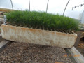 Red Pine Containerized Seedlings