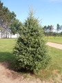 White Spruce A+2, 25 Trees