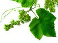 Golden Grape Leaf White Tea