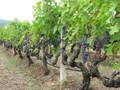 Grape Leaf Berry Herbal