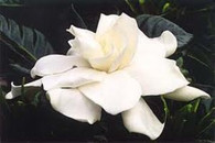 Fresh white gardenia essential oils enhances your space with this sweet classic floral!