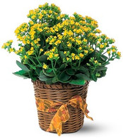Flowering Kolanchoe Plant