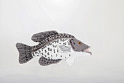 7 inch. Black Crappie Plush