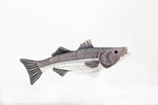 "Plush 17"" Striped Bass"