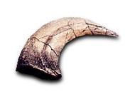 Velociraptor Toe Claw