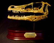 Velociraptor Skull Replica by DinoStoreus