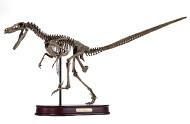 Velociraptor Skeleton by DinoStoreus