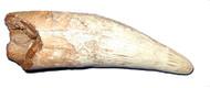 Spinosaurus Tooth