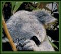 A Koala's Nap