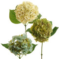 Hydrangeas- Cream