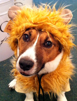 Ben of PawsPetBoutique.com as a Lion