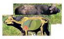 "Safari Press - The Perfect Shot ""Buffalo"" Game Targets (Life Size) - Kevin ""Doctari"" Robertson"