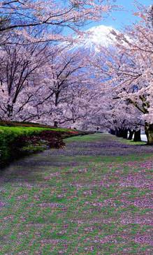 Cherry Blossom Trail Backdrop