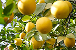 meyer-lemon.jpg
