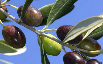 Italian Leccino Extra Virgin Olive Oil   375 mL