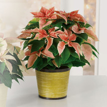 Jingle Bell Poinsettia