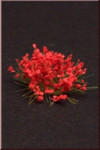 Fredericus Rex Red Flowers