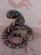 Texas Rattle Snake D1272