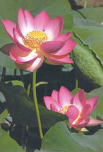 Notebook: Lotus Flower