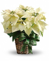 Nothing says Christmas like a poinsettia! A unique twist on the traditional Christmas plant, send this white poinsettia as a holiday gift - or keep it for yourself as Christmas décor!