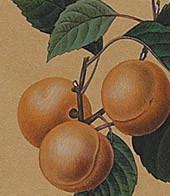 Apricot, Framed Botanical Authentic Models