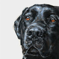 Black Labrador Limited edition print by Justine Osborne
