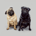Pair of Pugs A Limited edition print by Justine Osborne