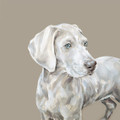 Weimaraner Study by Justine Osborne