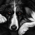 Border Collie - Dog Tired by Nigel Hemming