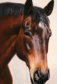 Equestrian Portrait Sample by Hazel Morgan