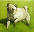 Portraiture Sample of a White Pug in Oil  by Tor Hildyard