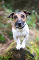 Pet Portrait Photography Sample of a Jack Russell by Eloise Leyden