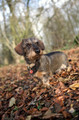 Pet Portrait Photography Sample of a Wire haired Dachshund by Eloise Leyden